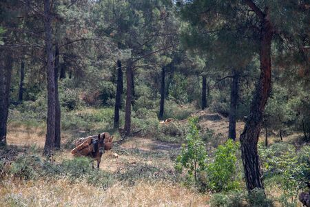 horses and mules carry the cut down tree trunks in the suburban forest of Thessaloniki Stock Photo
