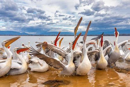 Pelicans (Pelecanus crispus) in Kerkini Lake in northern Greece