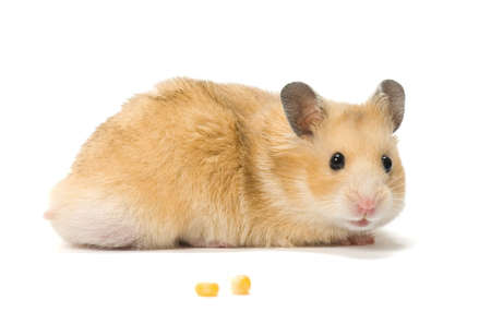 hamster: Male hamster and corn seeds on white background.
