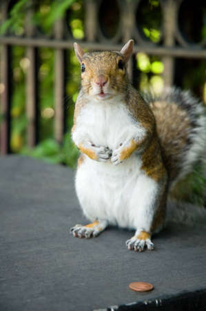 Grey squirrel with penny. Stock Photo - 10437340