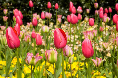 gillyflower: Pink tulips arranged with yellow primroses and gillyflowers in the garden
