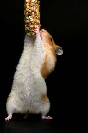 Female hamster trying to reach her food against black background. Stock Photo - 10475434