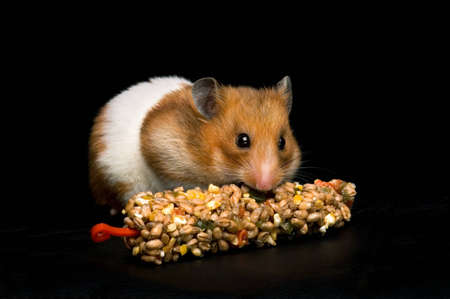 Female hamster with full cheeks, eating her favourite treat bar. Black background.  Stock Photo