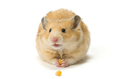 Male hamster eating corn seeds on white background. Stock Photo - 10475425