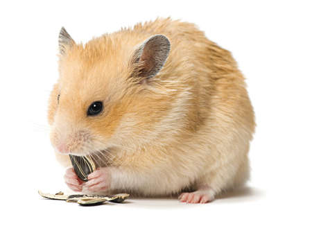 Male hamster eating sunflower seeds over white background.  photo
