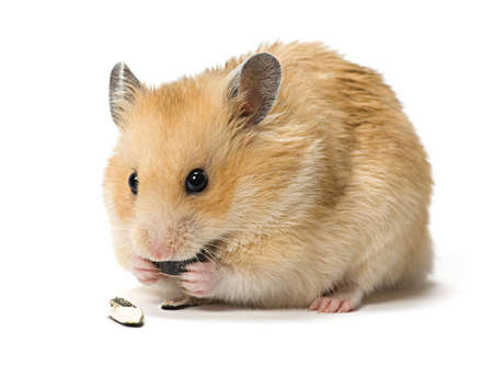 Male hamster eating sunflower seeds over white background.