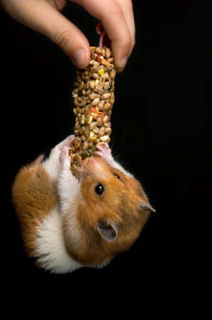 Female hamster eating her favourite treat bar while hanging on it over black background.  Stock Photo