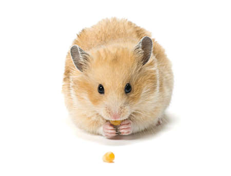 hamster: Male hamster eating corn seeds on white background.
