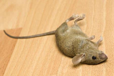 Dead mouse on parquet floor.