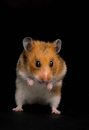 hamster: Funny female hamster showing her tongue.