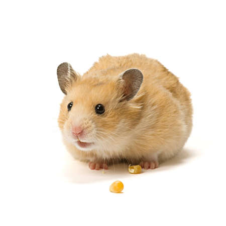 Alerted male hamster with corn seeds isolated on white background. Stock Photo