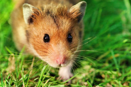 Curious male syrian hamster walking outdoors on the grass, looking straight at the camera  Stock Photo