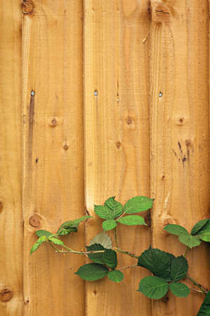 fence panel: Wooden fence background with blackberry leaves Stock Photo