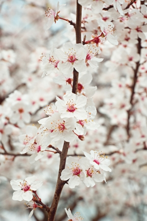 Fruit tree blossom in the spring. Soft toned colors. photo