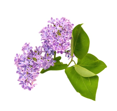 Lilac blossom with leaves isolated on white background