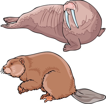 the walrus: The illustration shows a walrus and beaver. Illustration done in on separate layers. Illustration