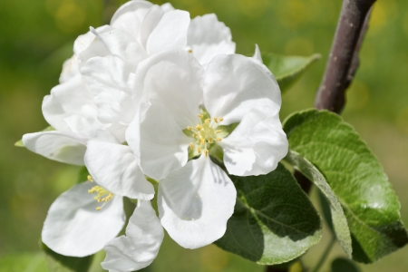 The photo shoots white flowers of apple close-up  photo