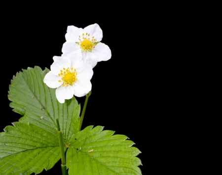 strawberry tree: The photo shows the leaves and inflorescence flower of wild strawberry isolated on a black background