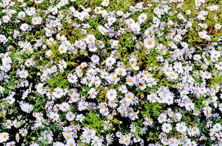 plurality: The photograph shows a plurality of white flowers in the meadow