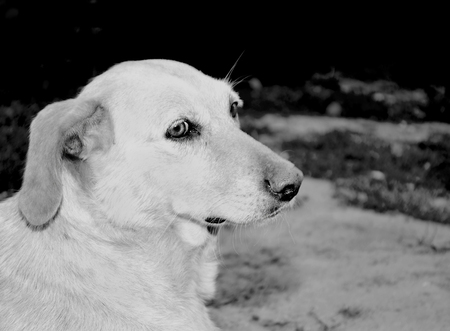 In a black and white photograph a lonely homeless dog that sits on the road and looks with sad eyes.