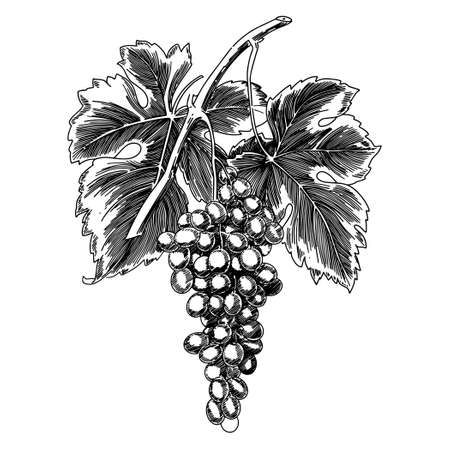 Grapes on a branch with leaves on a white background. Vector.
