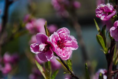 Close up macro photo of tiny pink flowers, blossoms, branches of a tree in spring season, beautiful springtime, blue sky background, tiny green leaves 免版税图像