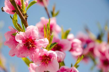 Close up foto macro di piccoli fiori rosa, fiori, rami di un albero nella stagione primaverile, bella primavera, cielo azzurro sfondo, minuscole foglie verdi Archivio Fotografico