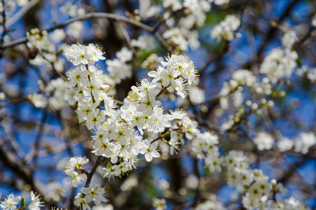Close up macro photo of tiny white flowers, blossoms, sky background, tiny green leaves, branches of a tree in spring season, beautiful springtime, gardening and farm tree