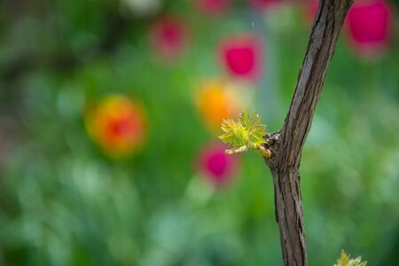 Small fresh green leaves of grapevine. Close-up of flowering grape vines, grapes bloom during day. Grape seedlings on a vine, small flower buds before they become fruits. Young sprouts. Grape branches 写真素材