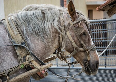 Beautiful grey horse in harness, close-up animal portrait with wagon