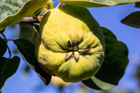 Ripe yellow quince fruits on a tree with green leaves, foliages in the fall season, late summer food, agricultural organic garden - daytime