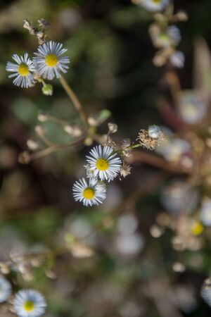 Chamomile field flowers. Daisies in sun light. Beautiful nature background with medical chamomiles in bloom. Natural spring background, blooming flower in meadow Stok Fotoğraf