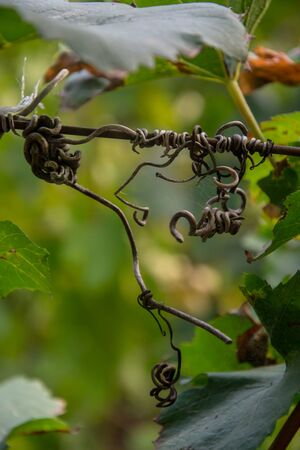 Close-up of dry vine tendril on metal wire with green leaves on the blurred background, selective focus, autumn scene