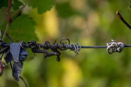 Close-up of dry vine tendril on metal wire with green leaves on the blurred background, selective focus, autumn scene 版權商用圖片