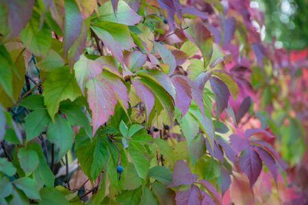 Hojas de colores de otoño, planta reductora de Virginia (Parthenocissus quinquefolia) durante la temporada de otoño, la naturaleza de fondo de cerca