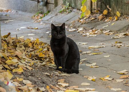 Beautiful black cat sitting on the street with yellow and brown fallen leaves, autumn season Фото со стока