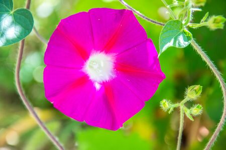 Close-up of pink morning glory flower vine ,flower in the afternoon, summer scene (single Ipomoea purpurea)
