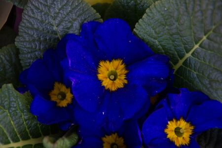 Blue blooming primrose flower. Close-up of the blossoming plant primula vulgaris with green leaves. Background floral pattern, primula polyanthus