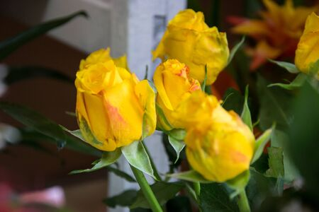 Beautiful yellow roses, close-up of a flower in a shop, selective focus, blooming bouquet for 8 march holiday