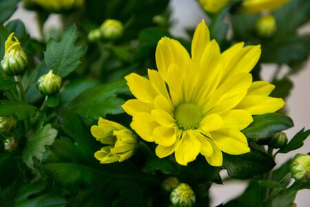 Pretty yellow chrisantemum in a flowershop, close-up, blooming bouquet for 8 march, mother's day, women's day, valentine's day
