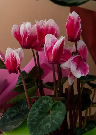 Beautiful pink Cyclamen flowers, close-up flower in a flower shop, blooming purple plant in a pot