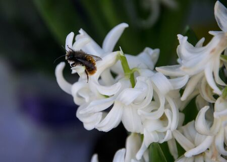 Close-up of bumble bee on a beautiful white hyacinth flower in a flower shop, blooming flowers
