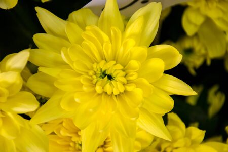 Pretty yellow chrisantemum in a flowershop, close-up, blooming bouquet for 8 march, mothers day, womens day, valentines day