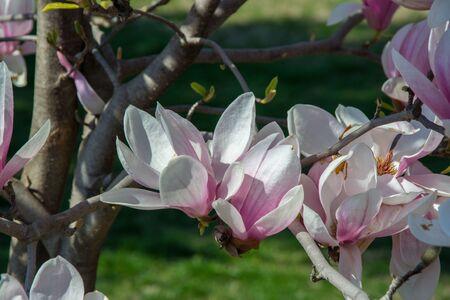 Beautiful blooming magnolia tree, tender pink flowers in the park, outdoors 写真素材