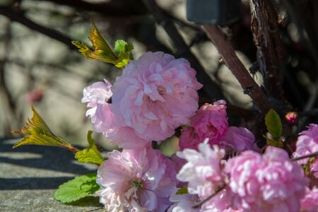 Spring cherry tree blossoming, flowers outdoor, beautiful pink plant bloom, outdoors
