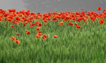 Poppies Stock Photo - 607621