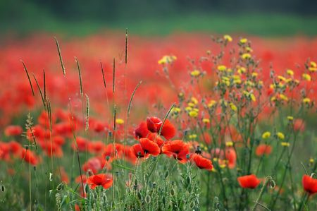 papaver: Poppies and Flowers