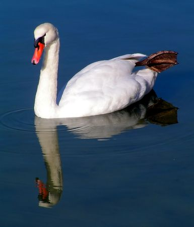 reflexes: Swan Reflexes Stock Photo