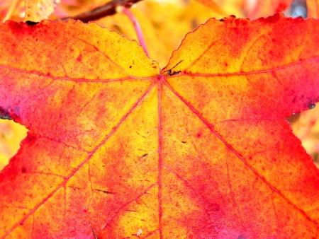 Closeup of Autumn Leaf photo
