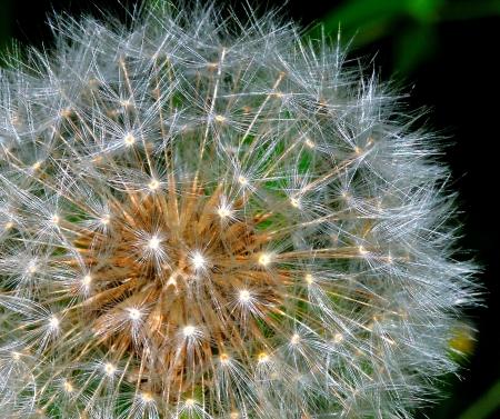 underbrush: Dandelion Macro Stock Photo